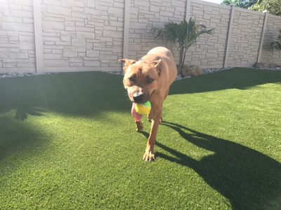 A large dog carrying a tennis ball in his mouth and walking towards the camera
