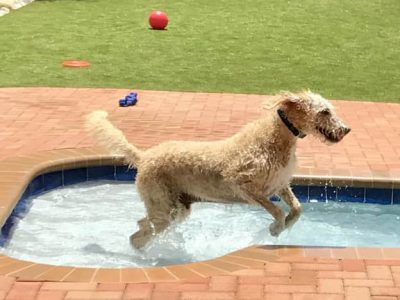 A large curly haired dog jumping in a pool at the doggie daycare