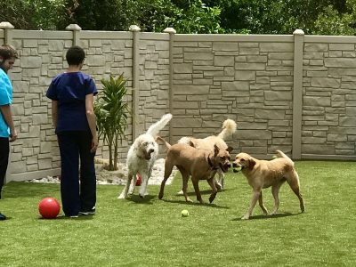 Four dogs enjoying playing in the outside doggie daycare/hotel play area
